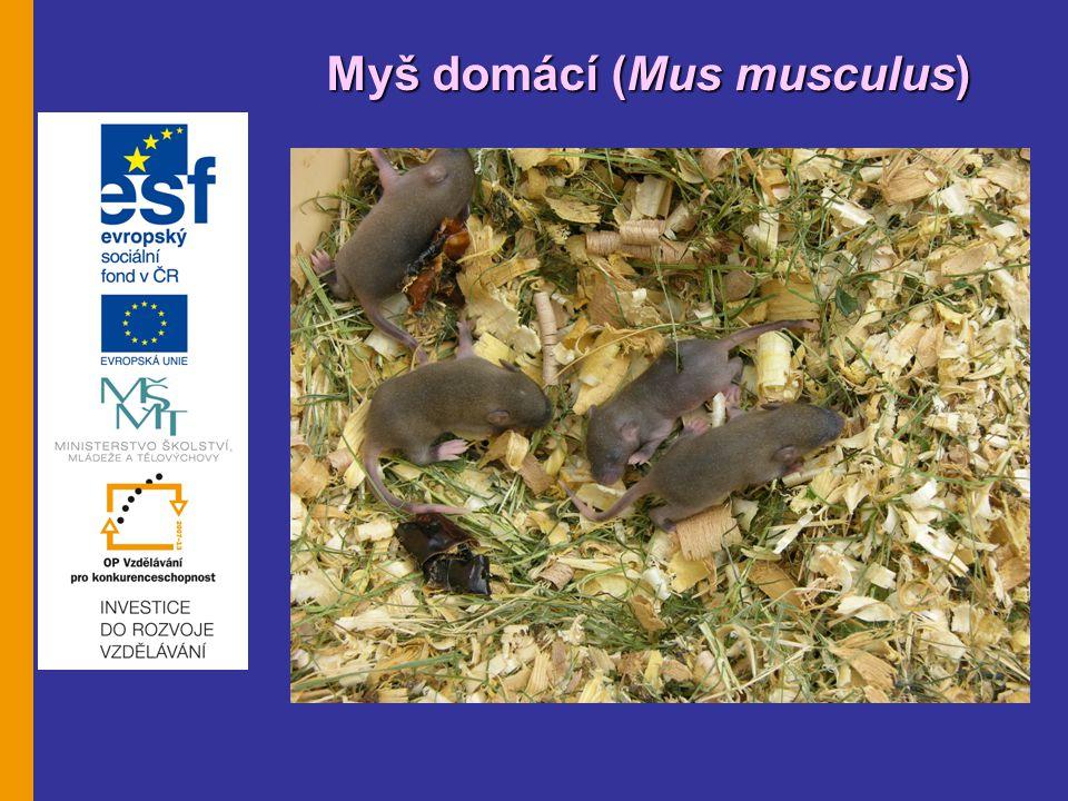 Myšice lesní (Apodemus flavicolis Myšice lesní (Apodemus flavicolis) Biologie: - hřbet od žlutohnědé k tmavě hnědé, břicho světlejší, - rozhraní mezi hřbetem a břichem je označeno oranžově hnědou linkou, - protažený čenich, velké odstáté uši, velké černé oči, - ocas stejně dlouhý nebo trochu delší než tělo, lze z něj stáhnout kůži, - typické jsou dlouhé zadní nohy, díky nim jsou schopny skočit až 60 cm vysoko a 80 cm daleko, - dospělec je velký 7 – 11 cm, - samičky pohlavně dospívají v šesti týdnech, - březost 3 týdny, - rodí se 4-6 holých, slepých mláďat, - samice mají 2 – 4 vrhy ročně, - délka života kolem 1 roku.