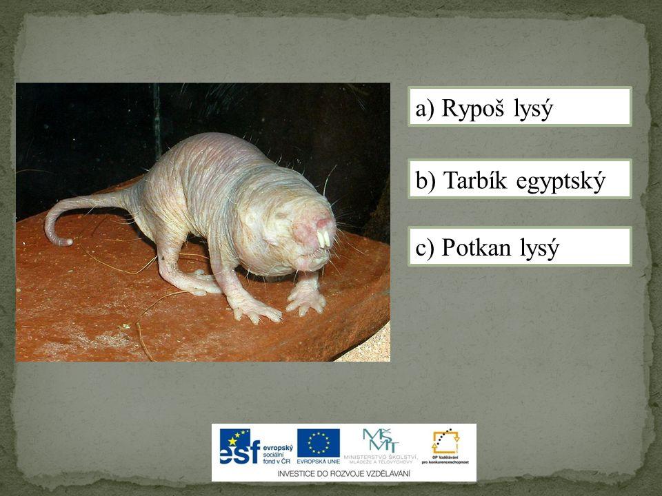 a) Rypoš lysý b) Tarbík egyptský c) Potkan lysý
