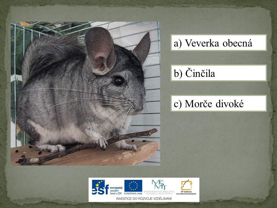 b) Činčila a) Veverka obecná c) Morče divoké
