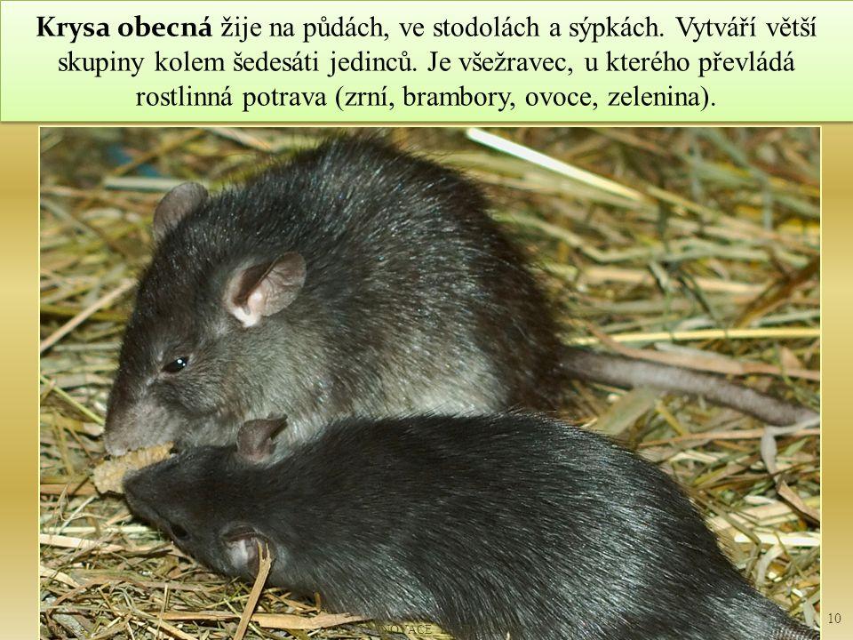 Krysa obecná ž ije na půdách, ve stodolách a sýpkách.