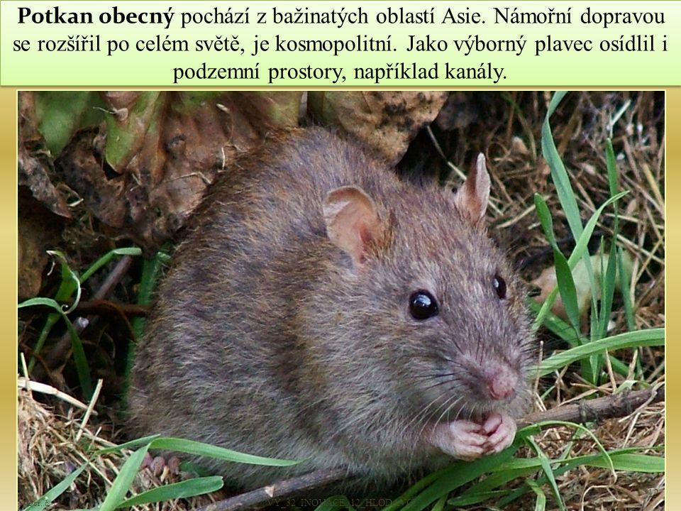 Potkan obecný pochází z bažinatých oblastí Asie.