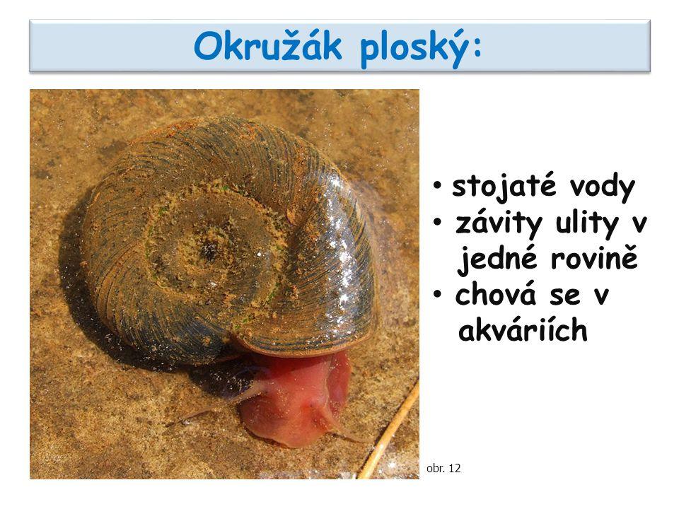 Okružák ploský: stojaté vody závity ulity v jedné rovině chová se v akváriích obr. 12