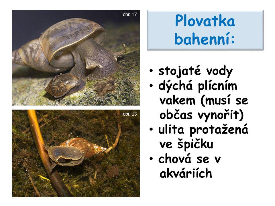 Plovatka bahenní: stojaté vody dýchá plícním vakem (musí se občas vynořit) ulita protažená ve špičku chová se v akváriích obr.