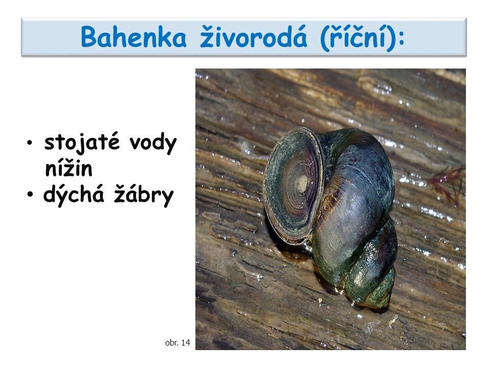Bahenka živorodá (říční): stojaté vody nížin dýchá žábry obr. 14