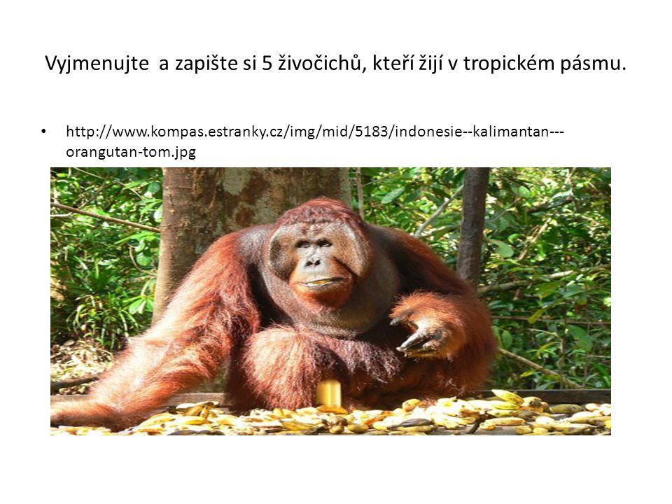 Vyjmenujte a zapište si 5 živočichů, kteří žijí v tropickém pásmu. http://www.kompas.estranky.cz/img/mid/5183/indonesie--kalimantan--- orangutan-tom.j