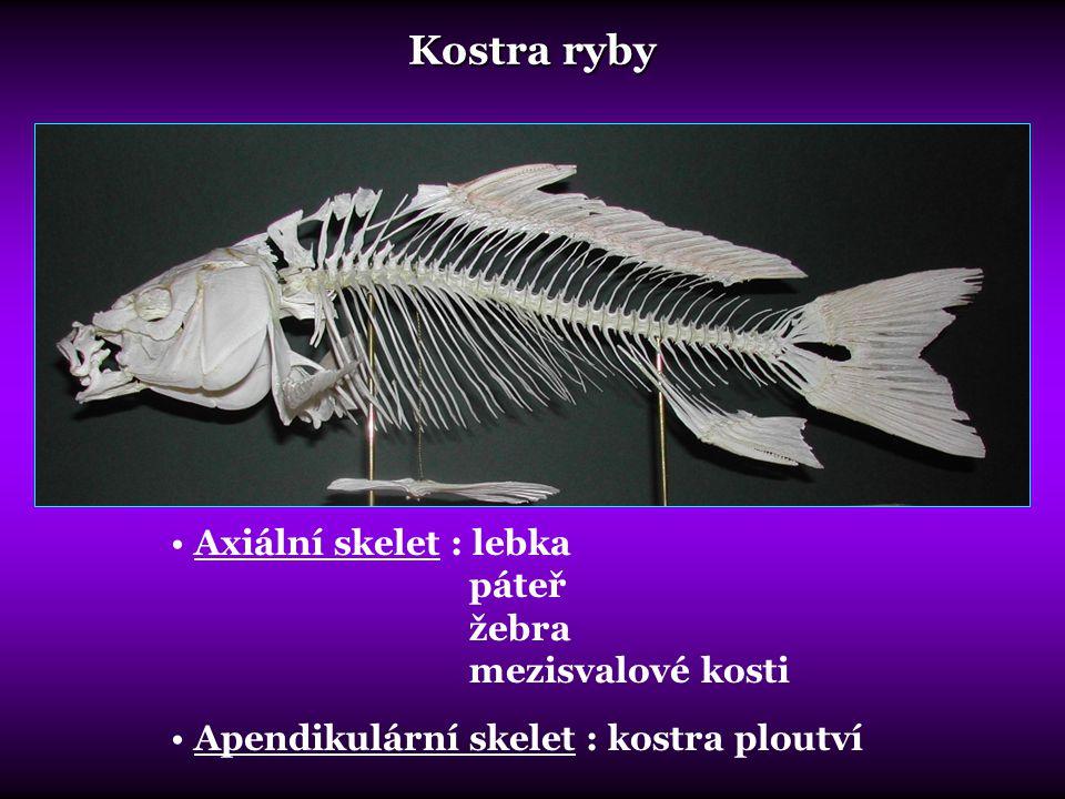 Kostra ryby Axiální skelet : lebka páteř žebra mezisvalové kosti Apendikulární skelet : kostra ploutví