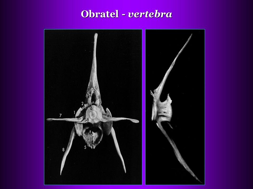 Obratel - vertebra