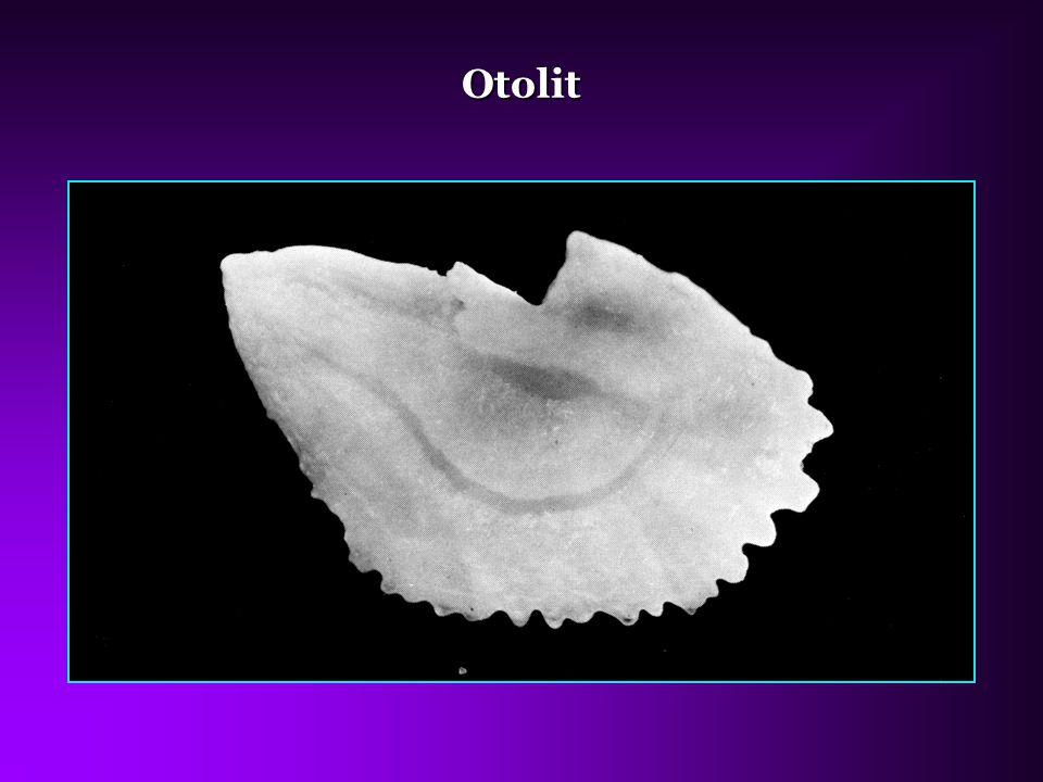 Otolit