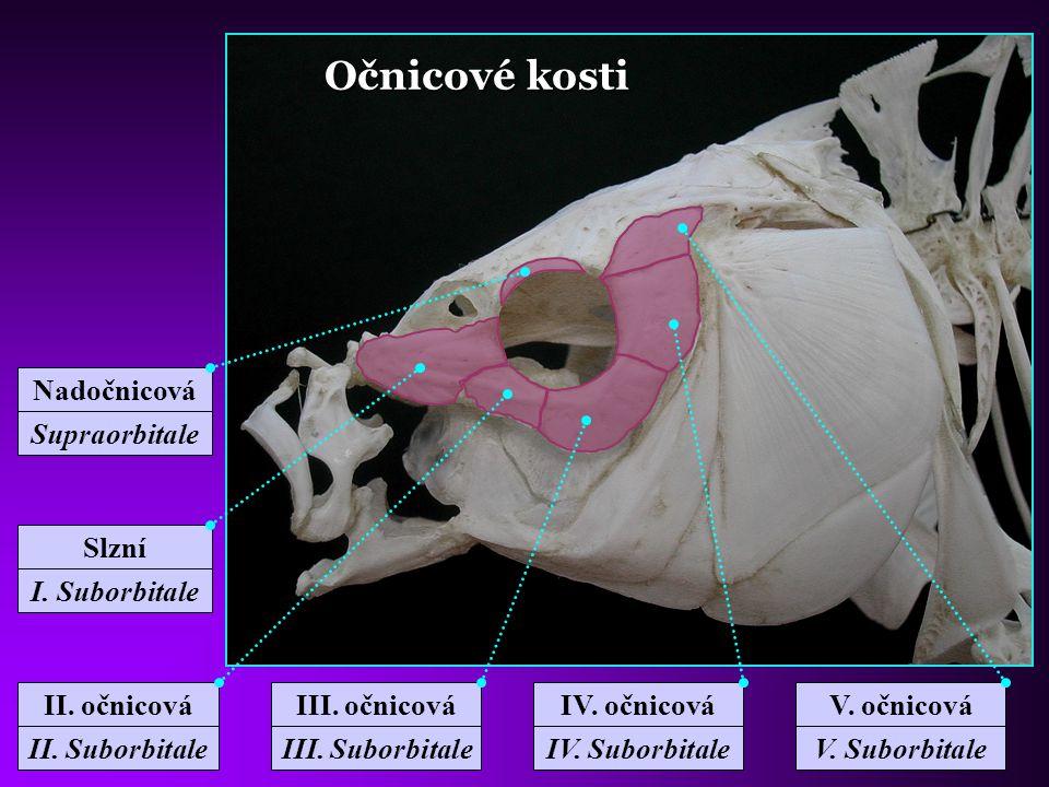 Očnicové kosti Nadočnicová Supraorbitale II. očnicová II. Suborbitale IV. očnicová IV. Suborbitale III. očnicová III. Suborbitale Slzní I. Suborbitale