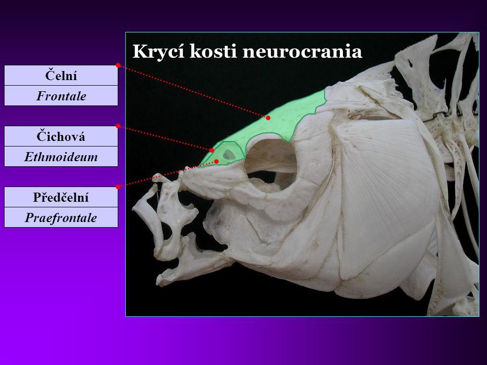 Krycí kosti neurocrania Čichová Ethmoideum Předčelní Praefrontale Čelní Frontale