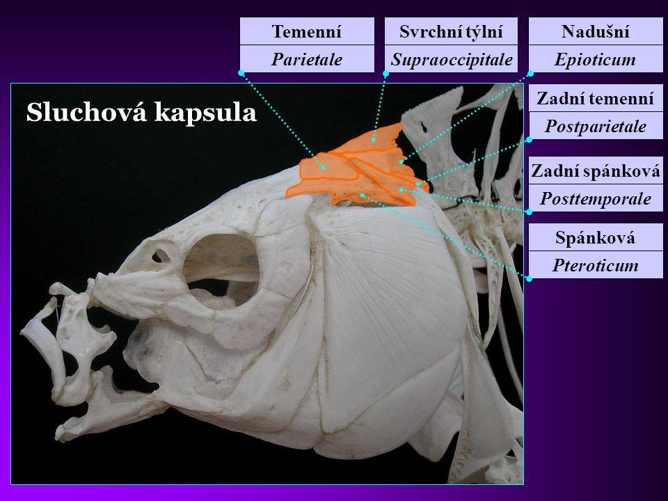 Mezisvalové kosti