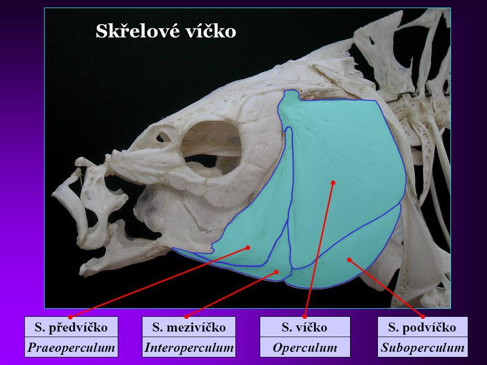 Kostra hlavy kapra Horní čelist Maxillare Předčelistní Praemaxillare Postranní čichová Ethmoidale later.
