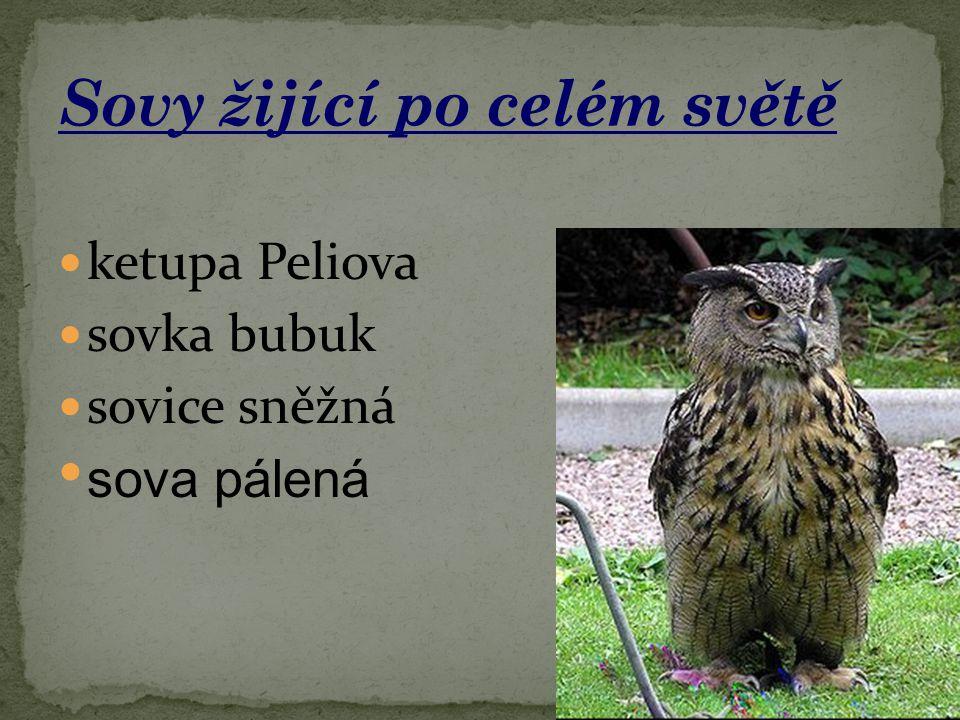 ketupa Peliova sovka bubuk sovice sněžná sova pálená