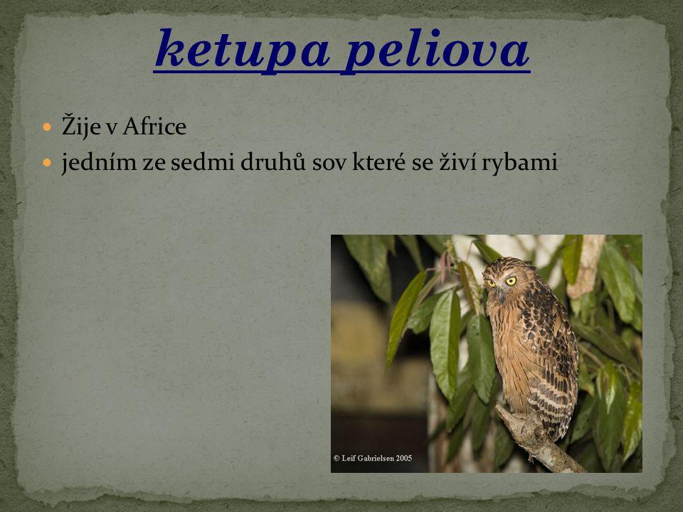 Žije v Africe jedním ze sedmi druhů sov které se živí rybami