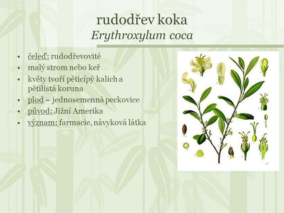 rudodřev koka Erythroxylum coca čeleď: rudodřevovité malý strom nebo keř květy tvoří pěticípý kalich a pětilistá koruna plod – jednosemenná peckovice