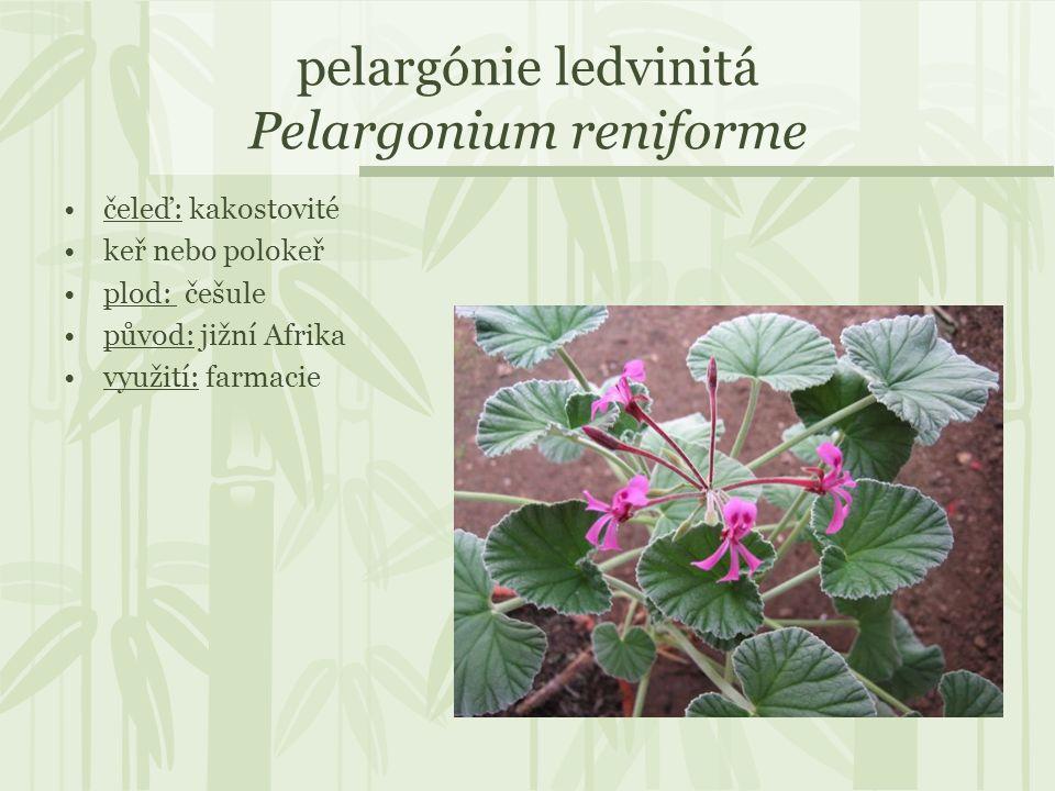 pelargónie ledvinitá Pelargonium reniforme čeleď: kakostovité keř nebo polokeř plod: češule původ: jižní Afrika využití: farmacie