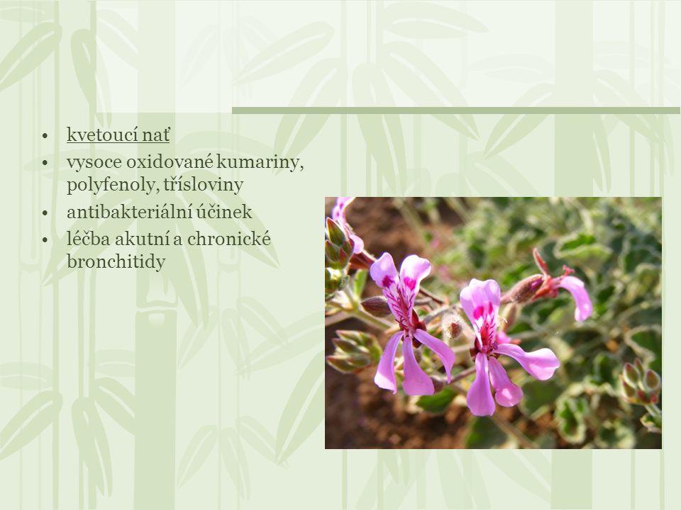 kvetoucí nať vysoce oxidované kumariny, polyfenoly, třísloviny antibakteriální účinek léčba akutní a chronické bronchitidy