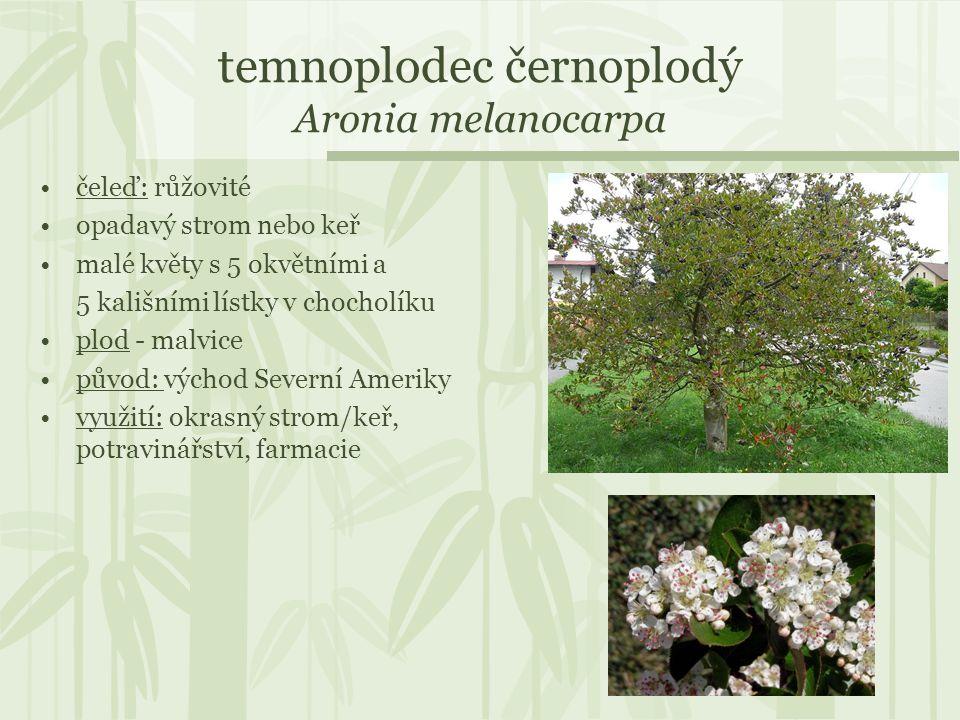 temnoplodec černoplodý Aronia melanocarpa čeleď: růžovité opadavý strom nebo keř malé květy s 5 okvětními a 5 kališními lístky v chocholíku plod - mal