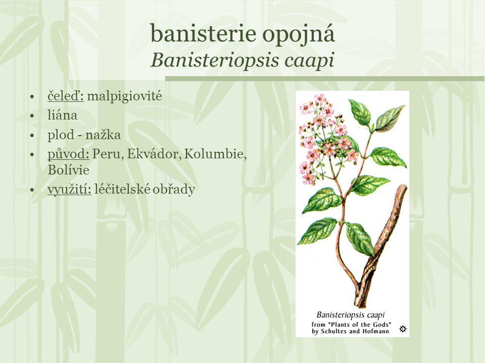 banisterie opojná Banisteriopsis caapi čeleď: malpigiovité liána plod - nažka původ: Peru, Ekvádor, Kolumbie, Bolívie využití: léčitelské obřady