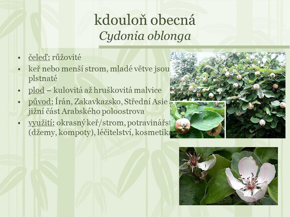 kdouloň obecná Cydonia oblonga čeleď: růžovité keř nebo menší strom, mladé větve jsou plstnaté plod – kulovitá až hruškovitá malvice původ: Írán, Zaka