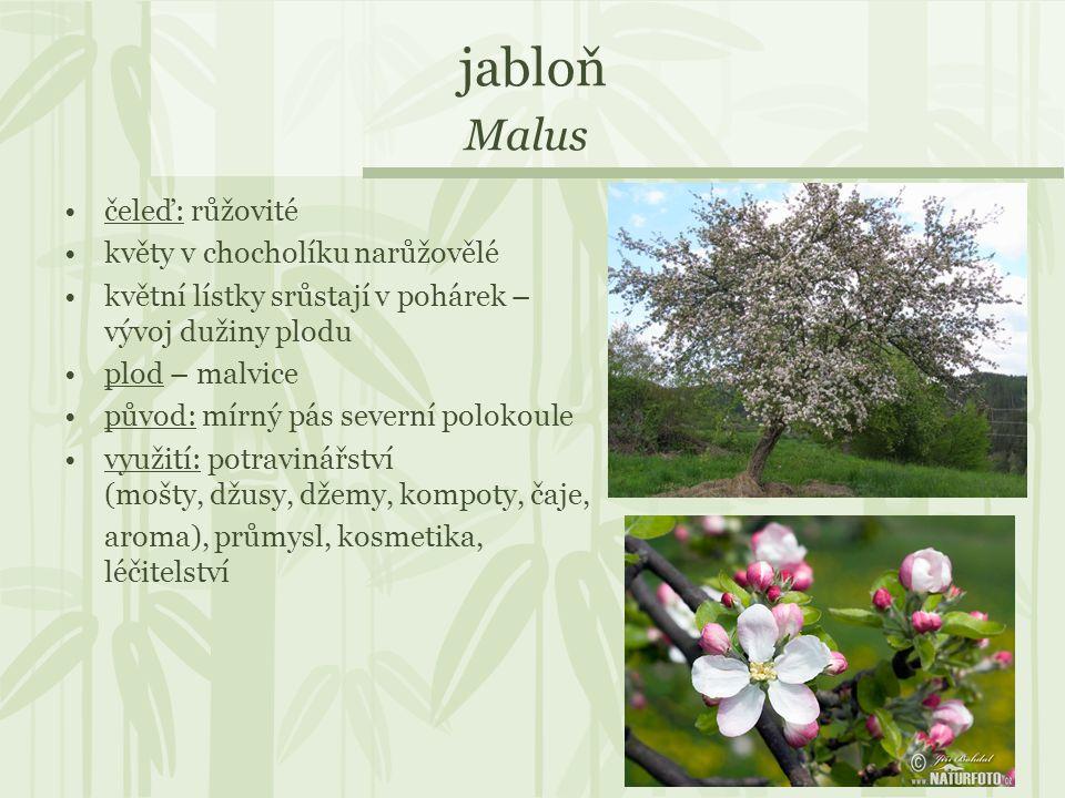 jabloň Malus čeleď: růžovité květy v chocholíku narůžovělé květní lístky srůstají v pohárek – vývoj dužiny plodu plod – malvice původ: mírný pás sever