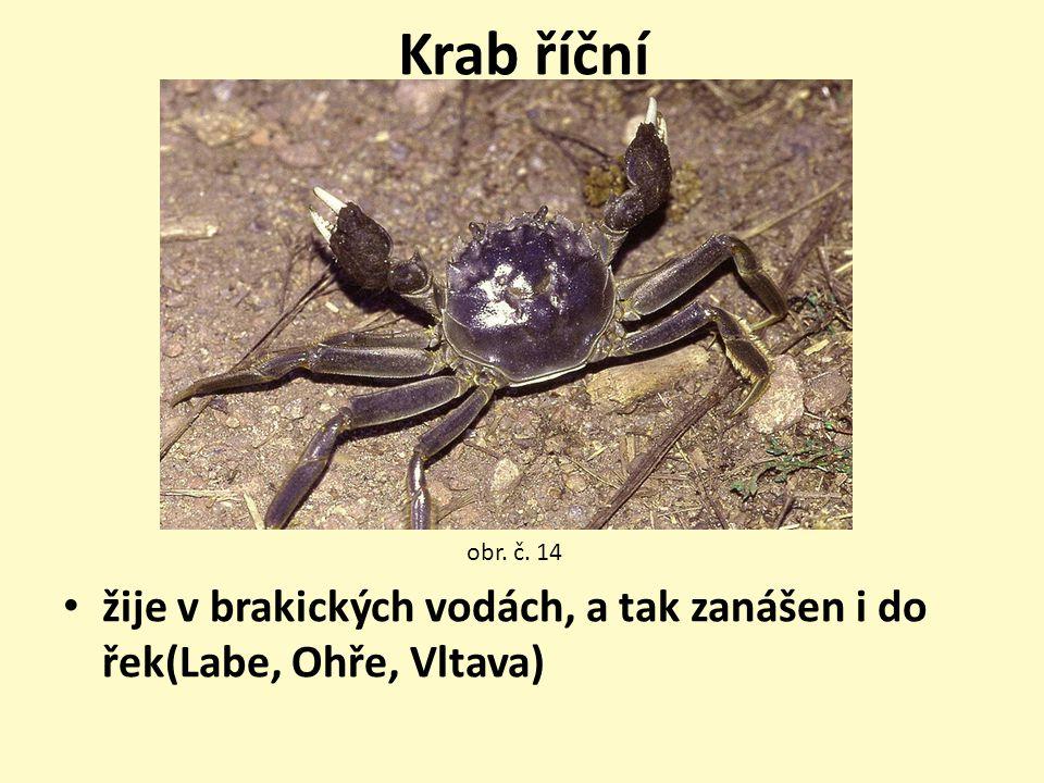 Krab říční žije v brakických vodách, a tak zanášen i do řek(Labe, Ohře, Vltava) obr. č. 14