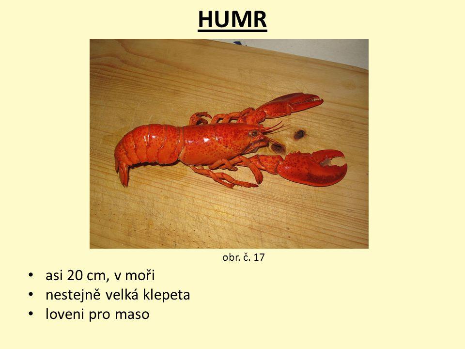 HUMR asi 20 cm, v moři nestejně velká klepeta loveni pro maso obr. č. 17