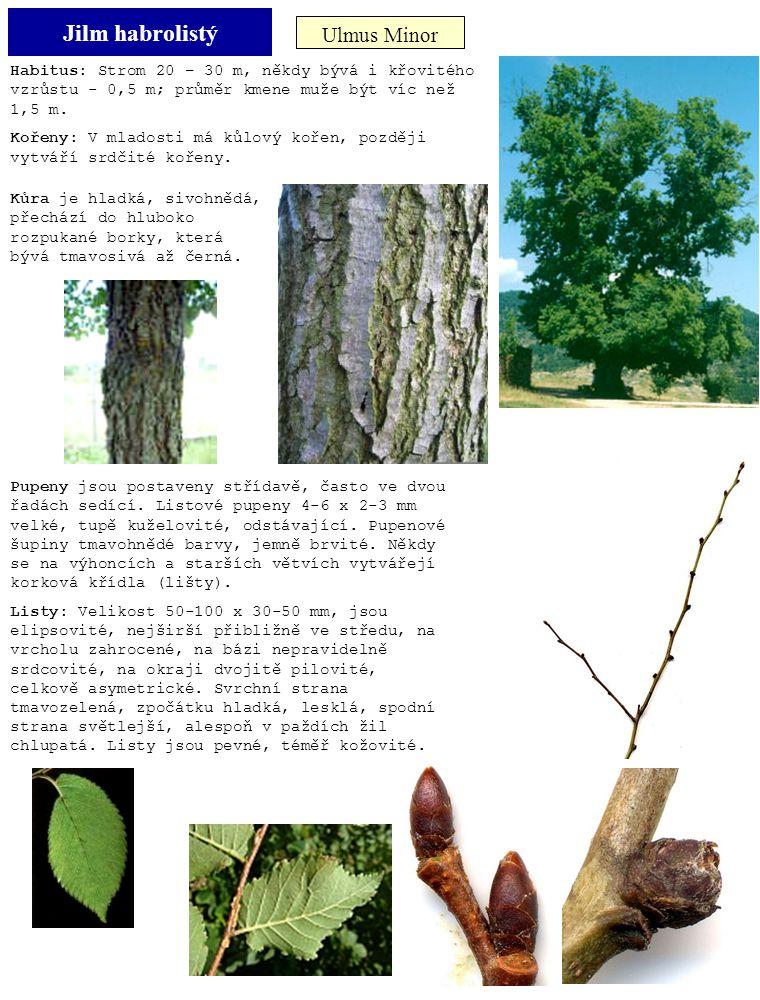 Jilm habrolistý Ulmus Minor Habitus: Strom 20 – 30 m, někdy bývá i křovitého vzrůstu - 0,5 m; průměr kmene muže být víc než 1,5 m. Kořeny: V mladosti