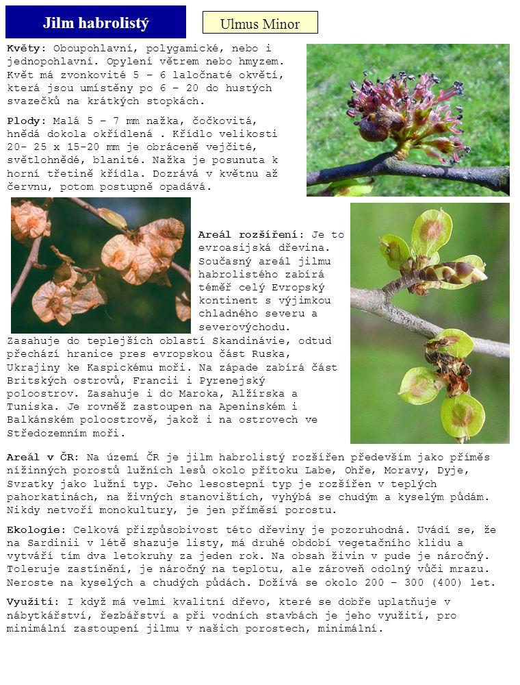 Jilm habrolistý Ulmus Minor Květy: Oboupohlavní, polygamické, nebo i jednopohlavní. Opylení větrem nebo hmyzem. Květ má zvonkovité 5 – 6 laločnaté okv