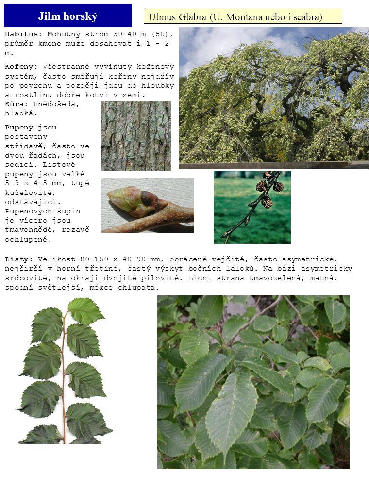 Jilm horský Ulmus Glabra (U. Montana nebo i scabra) Habitus: Mohutný strom 30–40 m (50), průměr kmene muže dosahovat i 1 - 2 m. Kořeny: Všestranně vyv