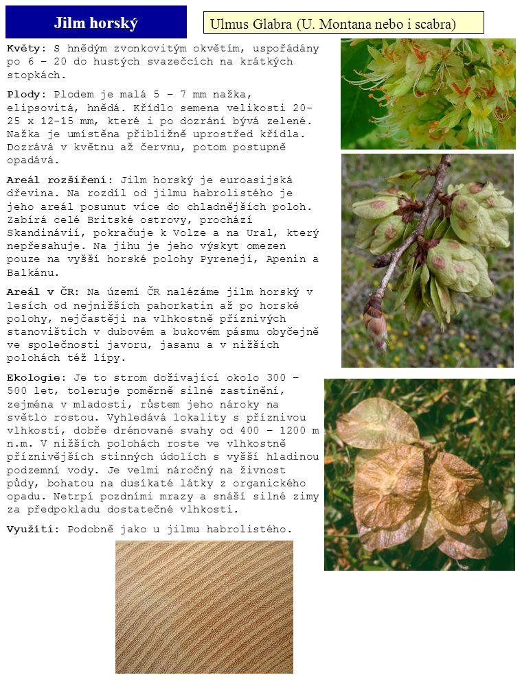 Jilm horský Ulmus Glabra (U. Montana nebo i scabra) Květy: S hnědým zvonkovitým okvětím, uspořádány po 6 – 20 do hustých svazečcích na krátkých stopká