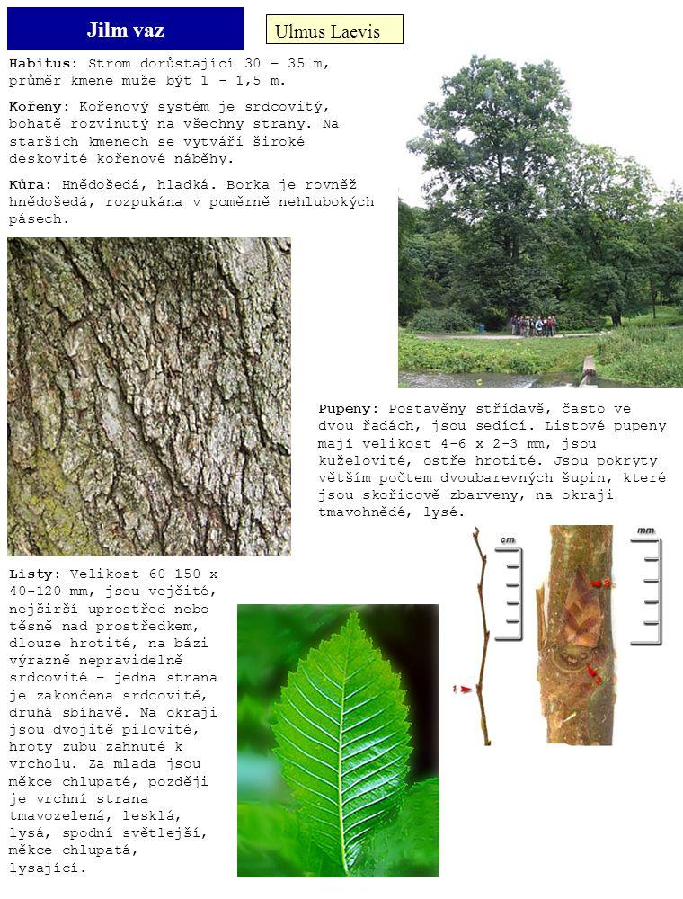 Jilm vaz Ulmus Laevis Habitus: Strom dorůstající 30 – 35 m, průměr kmene muže být 1 - 1,5 m. Kořeny: Kořenový systém je srdcovitý, bohatě rozvinutý na