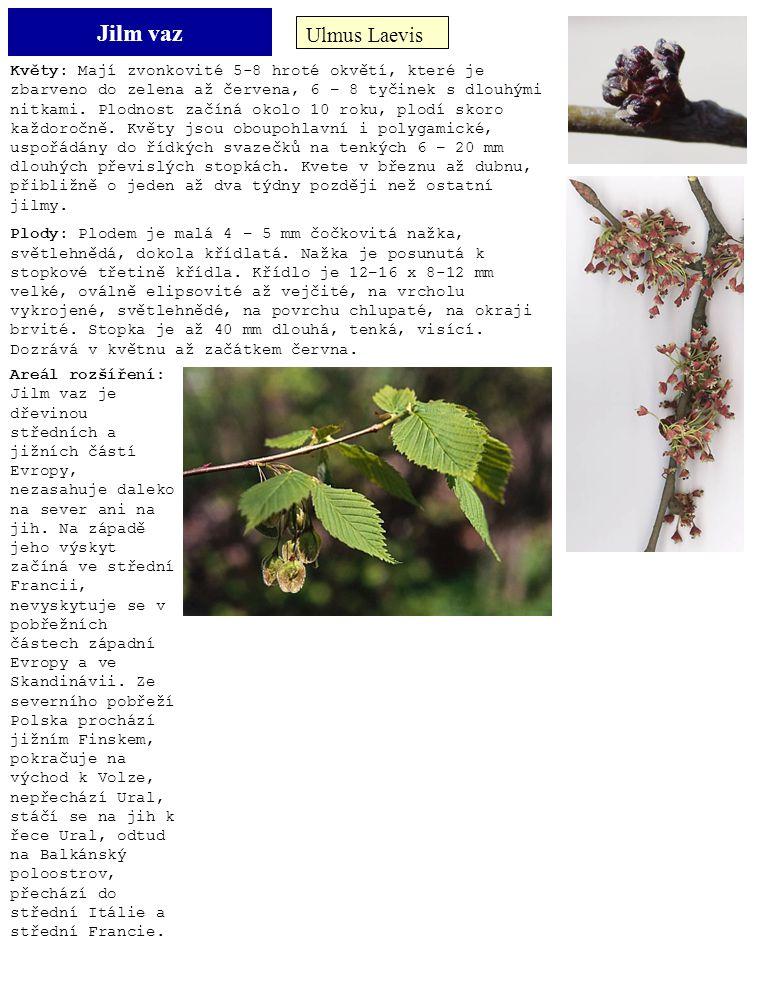 Jilm vaz Ulmus Laevis Květy: Mají zvonkovité 5-8 hroté okvětí, které je zbarveno do zelena až červena, 6 – 8 tyčinek s dlouhými nitkami. Plodnost začí