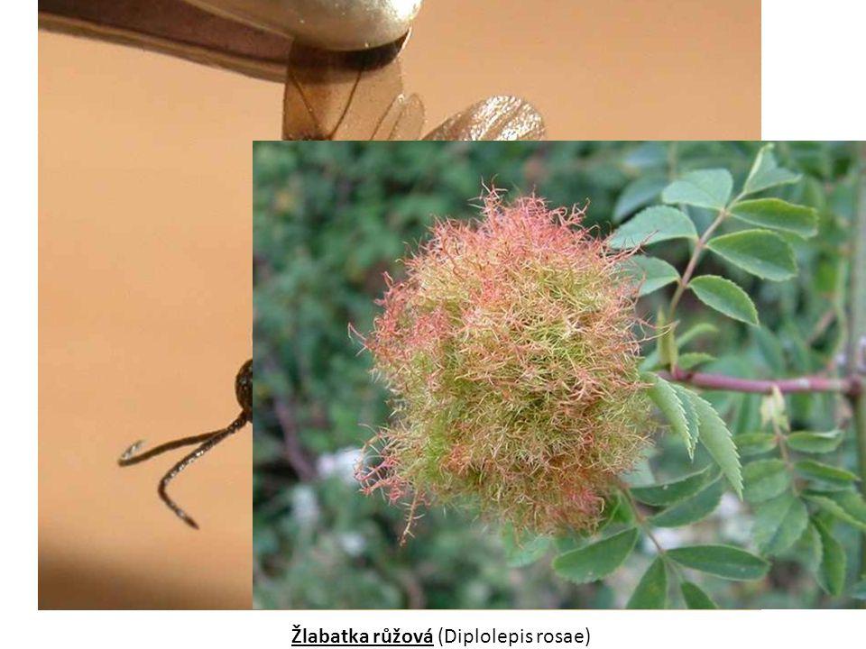 Žlabatka růžová (Diplolepis rosae)