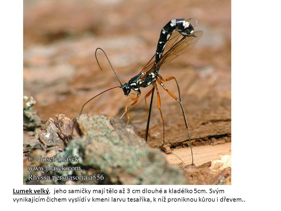 Lumek velký, jeho samičky mají tělo až 3 cm dlouhé a kladélko 5cm.