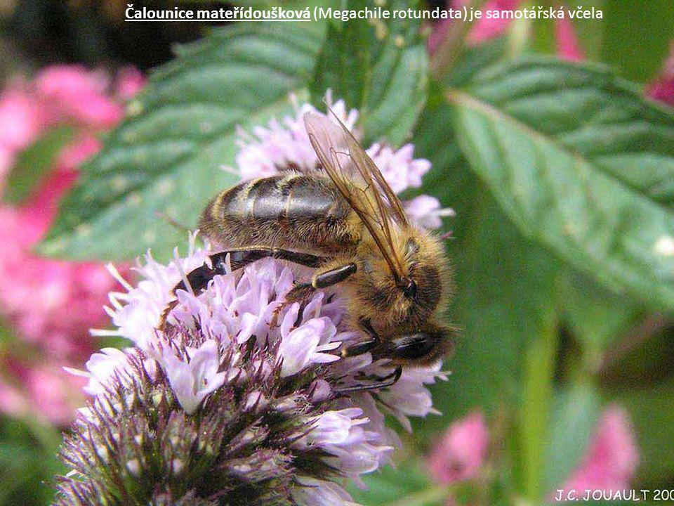 Čalounice mateřídoušková (Megachile rotundata) je samotářská včela