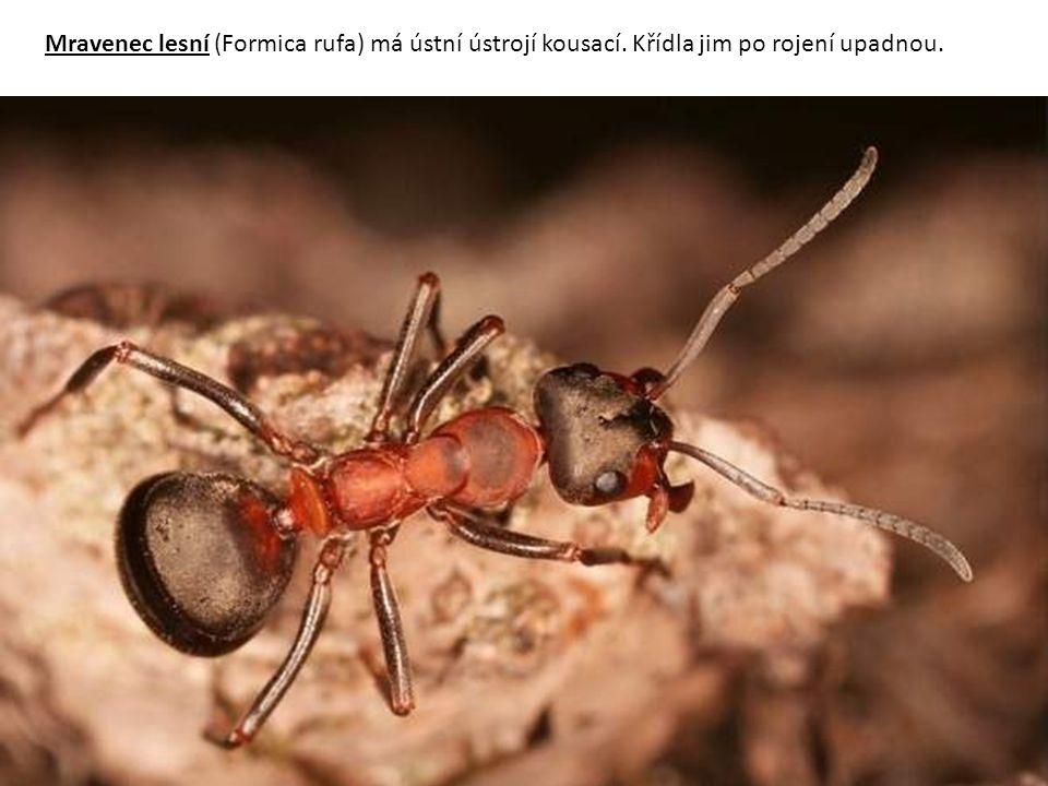 Mravenec lesní (Formica rufa) má ústní ústrojí kousací. Křídla jim po rojení upadnou.