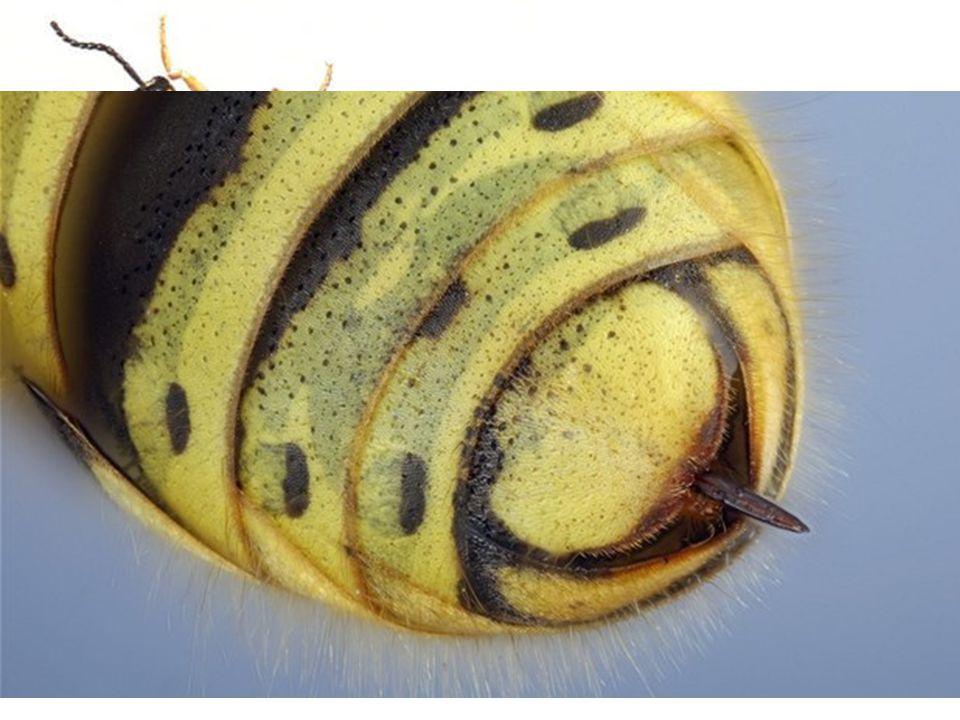 Vosa útočná (Paravespula germanica) Se živí dravě, koncem léta vykusuje sladké ovocné plody - nebezpečí ohrožení života otokem dýchacích cest.