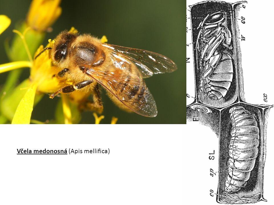 Včela medonosná (Apis mellifica)
