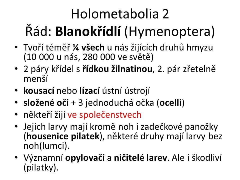Holometabolia 2 Řád: Blanokřídlí (Hymenoptera) Tvoří téměř ¼ všech u nás žijících druhů hmyzu (10 000 u nás, 280 000 ve světě) 2 páry křídel s řídkou žilnatinou, 2.