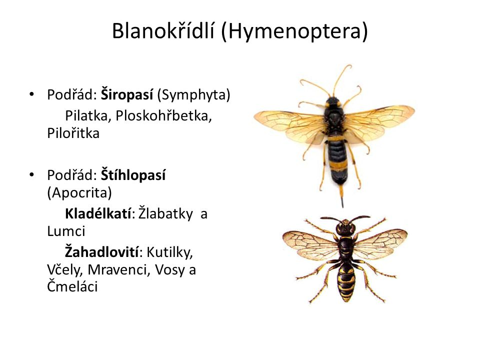 Pilatka švestková Hoplocampa minuta Parazituje na peckovinách Larvy mají 3 páry noh + panožky