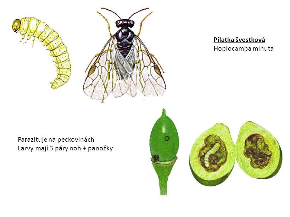 Pilatka jabloňová – larva a deformovaný plod (Hoplocampa testudinae)