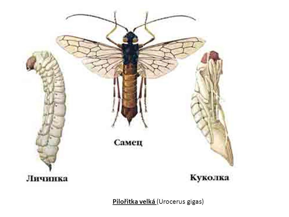 Ploskohřbetka smrková (Cephaleia abietis) Způsobuje holožíry smrkových porostů