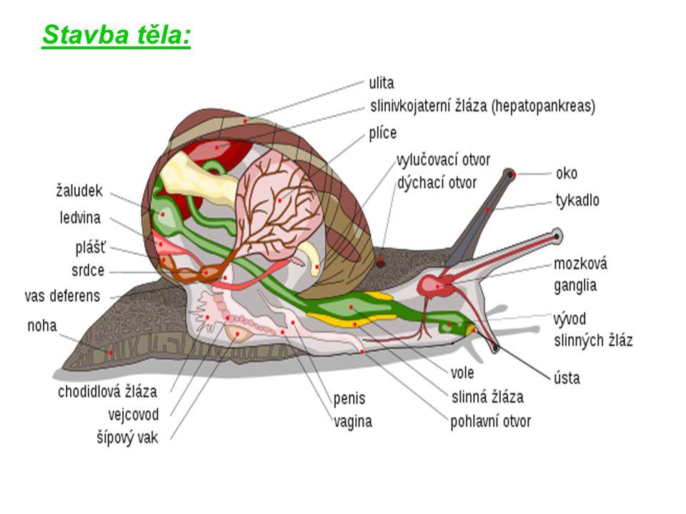 svalnatá noha + část těla – vysunutelné ze schránky hlava – 2 páry zatažitelných tykadel 1.