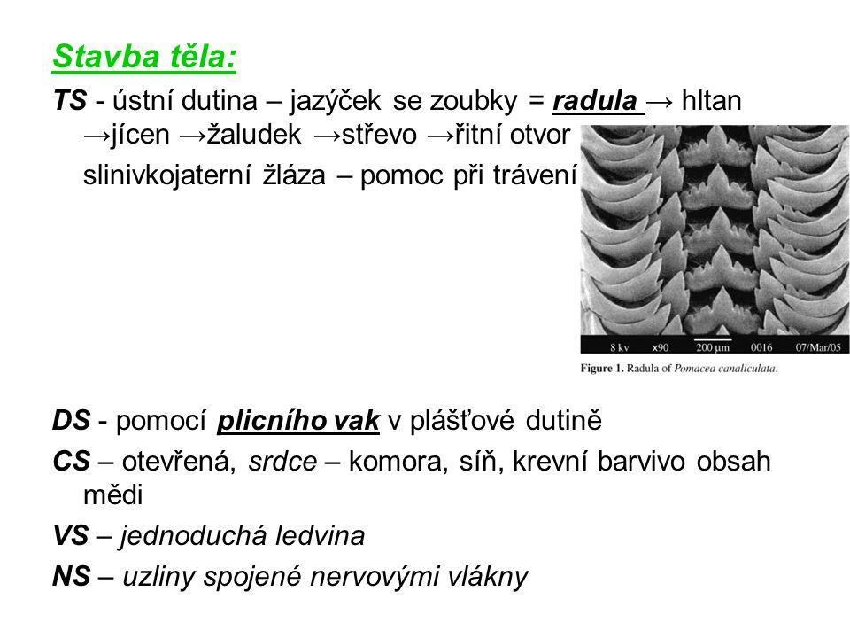 Stavba těla: TS - ústní dutina – jazýček se zoubky = radula → hltan →jícen →žaludek →střevo →řitní otvor slinivkojaterní žláza – pomoc při trávení DS