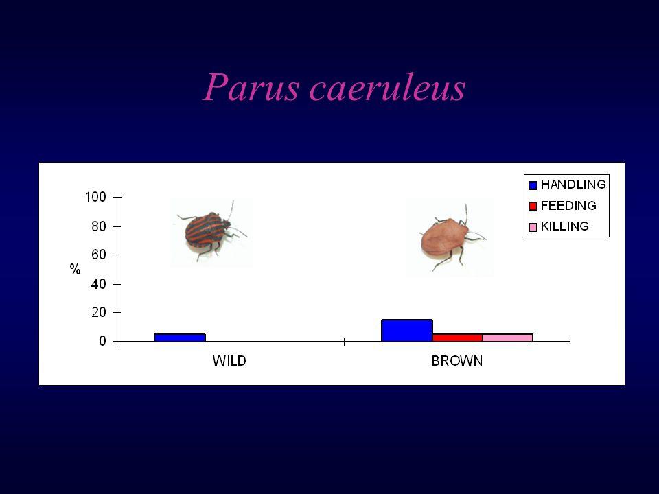 Parus caeruleus