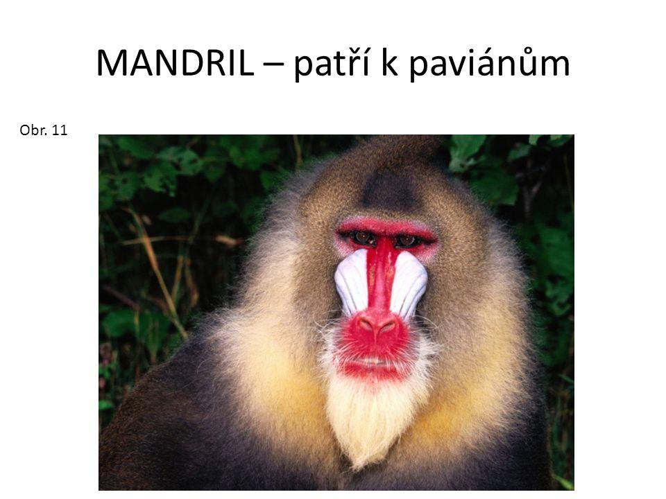 MANDRIL – patří k paviánům Obr. 11