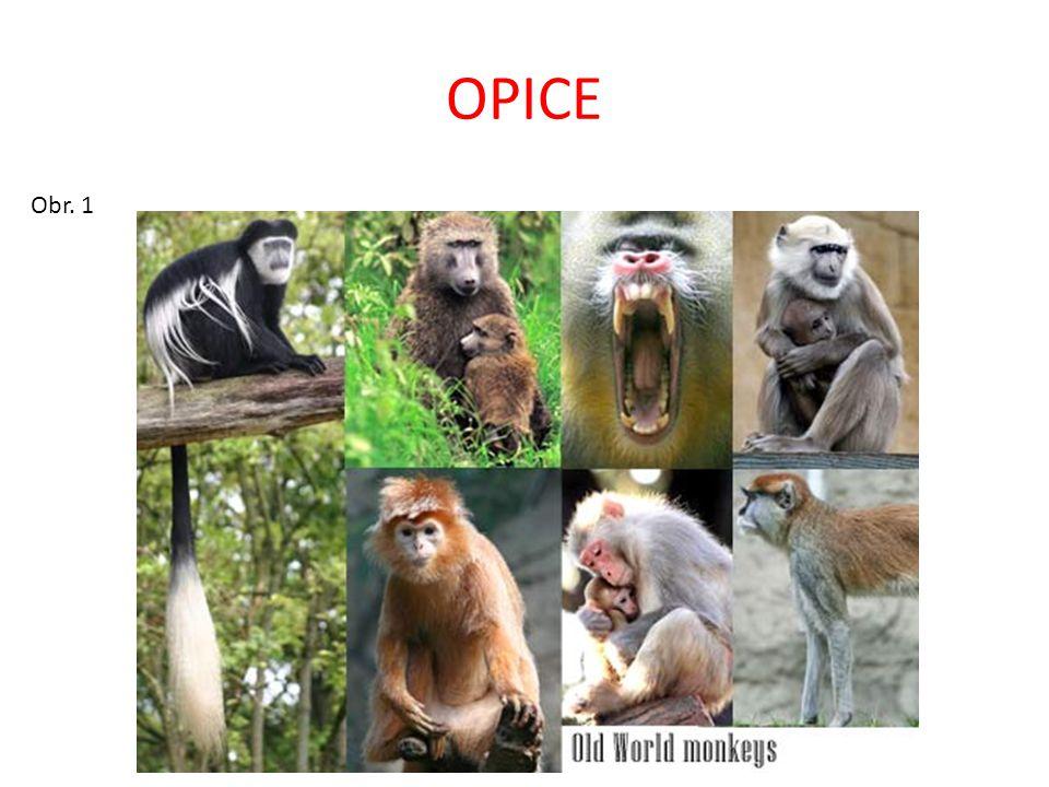 OPICE ÚZKONOSÉ ÚZKONOSÉ OPICE = OPICE STÁRÉHO SVĚTA Vyskytují se v Africe, Asii, (Evropě) Mají ÚZKOU NOSNÍ PŘEPÁŽKU – nosní otvory směřují dolů Dělí se na čeleď – KOČKODANOVITÍ – guerézy, makakové, paviáni, kočkodani, hulmani, …