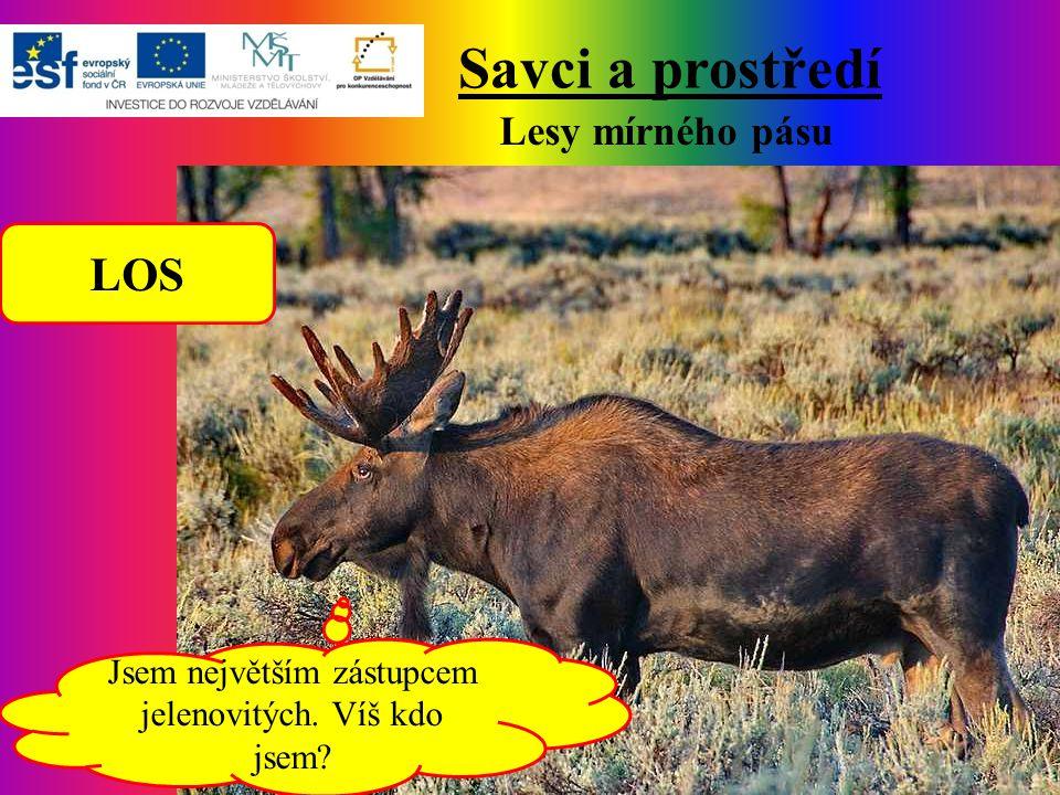 Savci a prostředí Lesy mírného pásu LOS Jsem největším zástupcem jelenovitých. Víš kdo jsem?