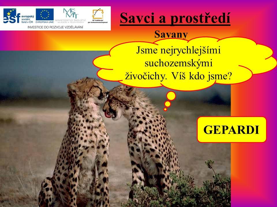 Savci a prostředí Savany Jsme nejrychlejšími suchozemskými živočichy. Víš kdo jsme? GEPARDI